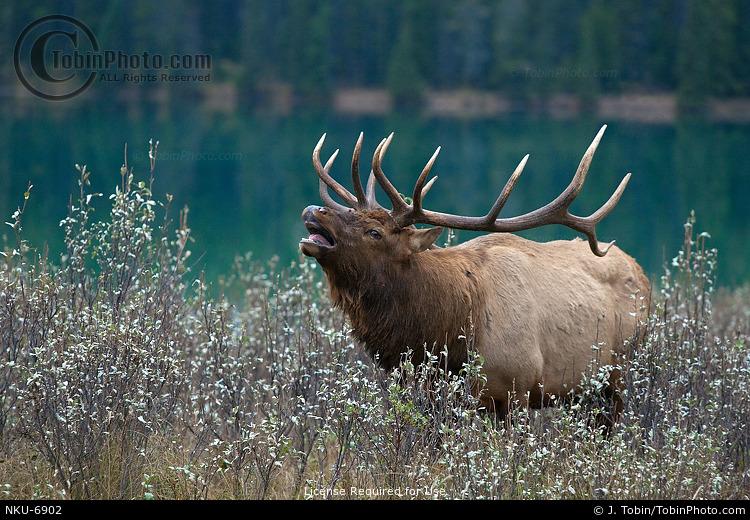 Bull Elk Flehmen
