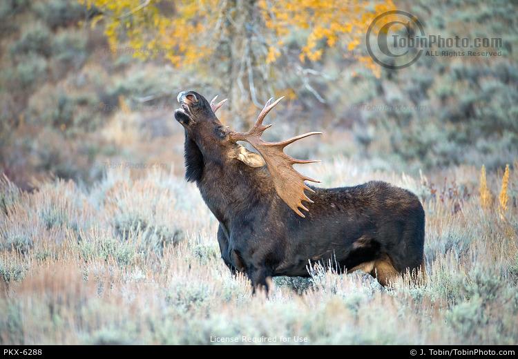 Rutting Bull Moose