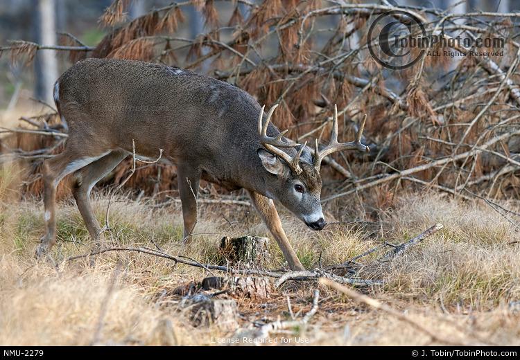 Sneaky Whitetail Buck