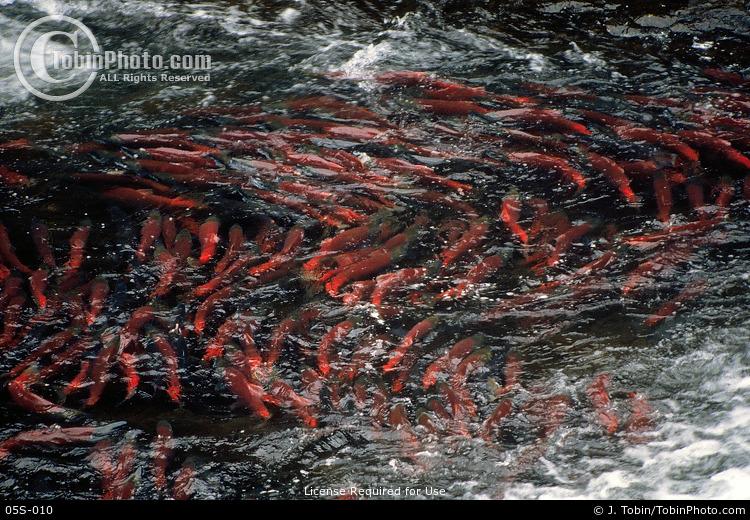 Sockye Salmon in an Eddy