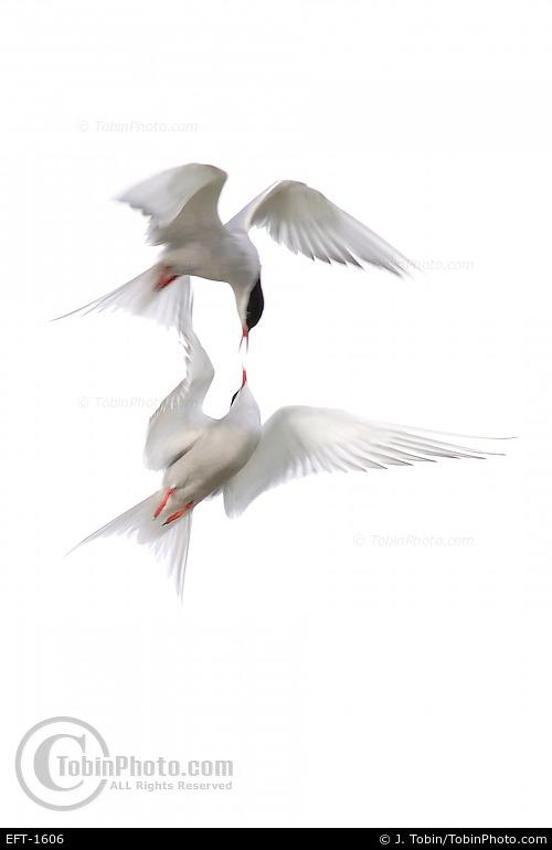 Arctic Terns Fighting