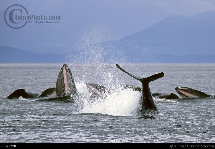 Whales Bubble Net Feeding