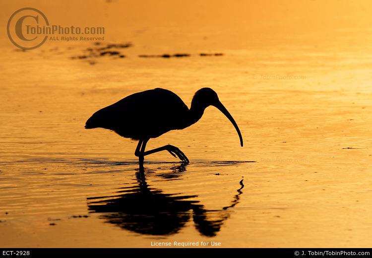 White Ibis at Sunset
