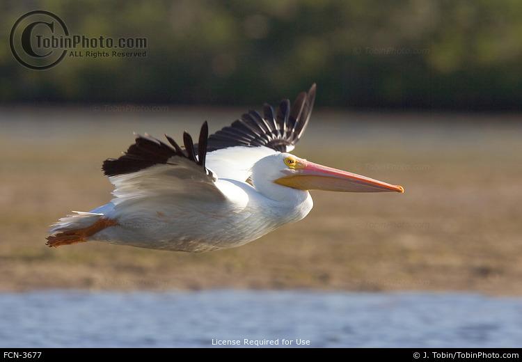 White Pelican Flying