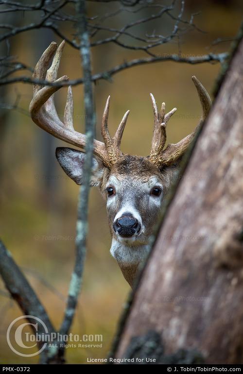 Whitetail Buck Behind Tree