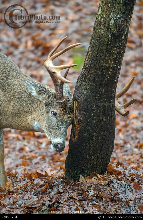 Buck Rubbing Tree
