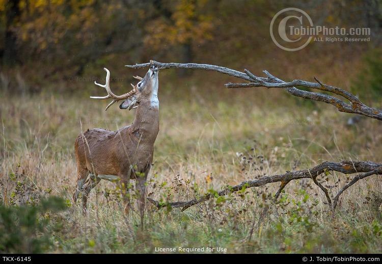 Whitetail Buck Scent Marking