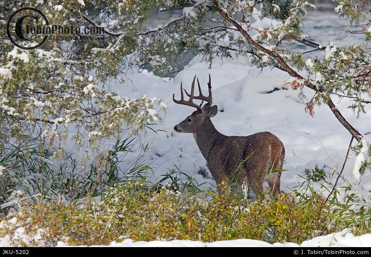 Whitetail Buck in Snow