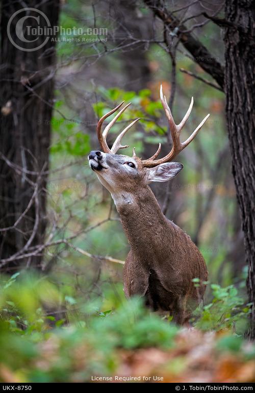 Whitetail Buck Testing Air