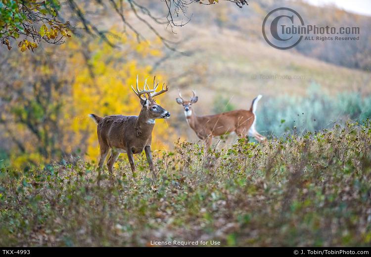 Two Bucks & Fall Colors