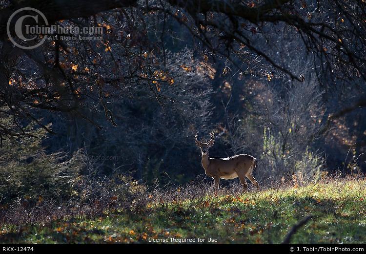 Whitetail Deer in Scene