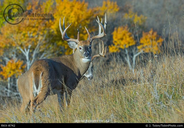 Whitetail Bucks & Fall Color