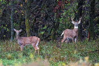 Alert Doe & Buck Deer