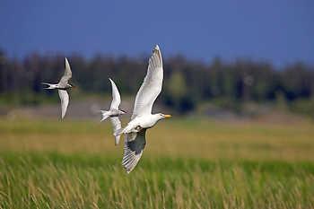 Terns Chasing a Gull