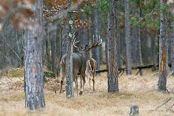 Buck Following a Doe