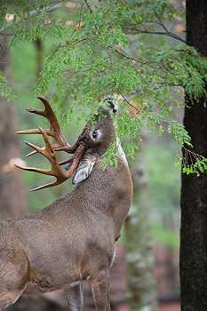Buck Licking Branch