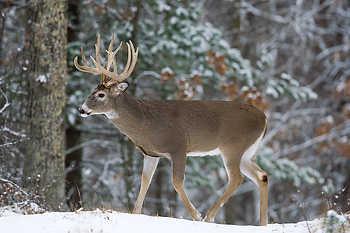 Buck Walking