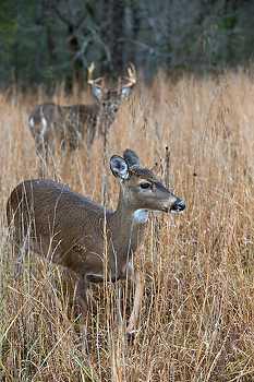 Buck Tending a Doe