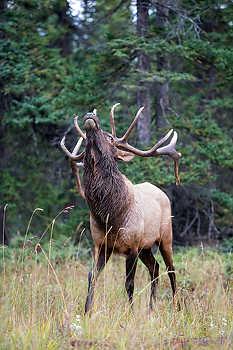 Bull Elk Threat Posture
