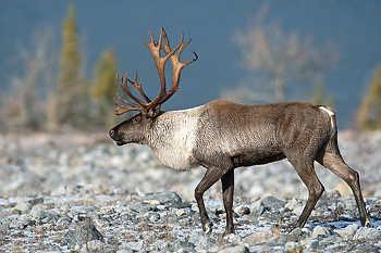 Bull Woodland Caribou