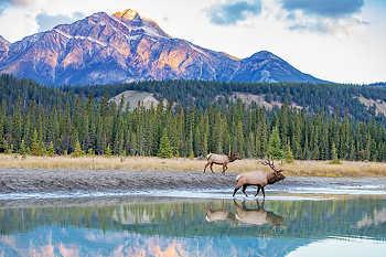 Elk Walking at River's Edge