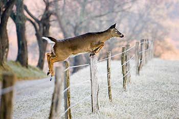 Doe Jumping Fence
