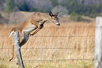 Doe Whitetail Deer Jumping