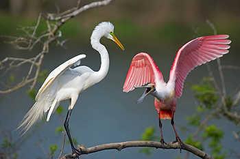 Egret & Spoonbill