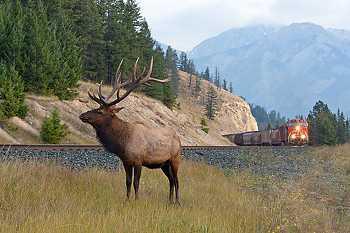 Elk & Freight Train
