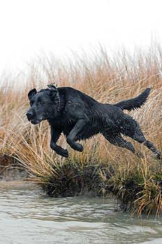 Labrador Retriever Leaping
