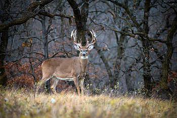 Massive Whitetail Buck