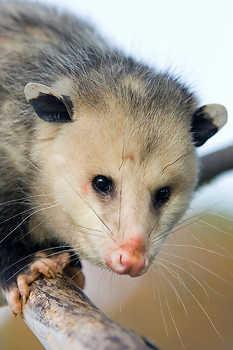 Opossum on a Limb