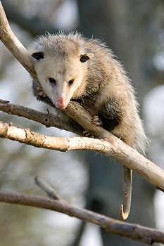 Opossum in a Tree
