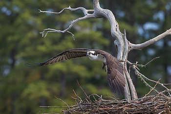 Osprey Flying over Nest