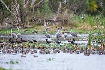 Sandhill Cranes, Ducks & Ibis
