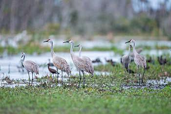 Sandhill Cranes in Rain