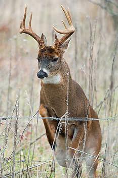 Buck Jumping Fence