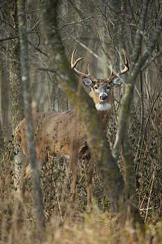 Buck in Dense Woods