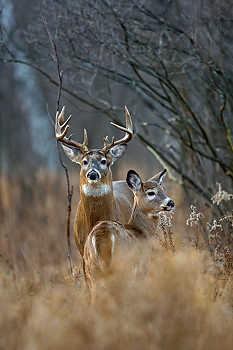 Whitetail Buck & Doe