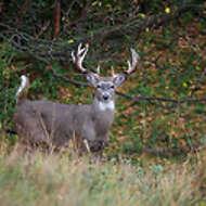 Alert Buck Whitetail