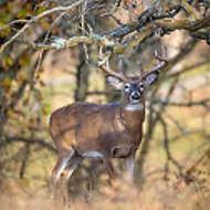Alert Whitetail Buck