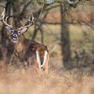 Big Buck Whitetail