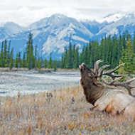 Bull Elk Resting