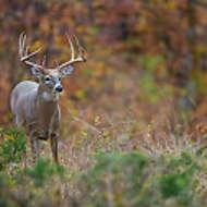 Buck & Fall Colors