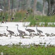 Sandhill Cranes & Ducks
