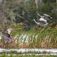 Sandhill Cranes Gathering