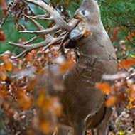 Whitetail Buck Licking Branch